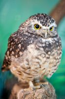Little Owl by Anarchistic-Vampire