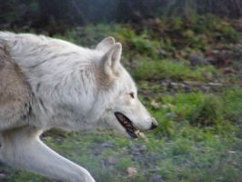 Wolf Portrait Stock 32 by Clickitysnip-Stock