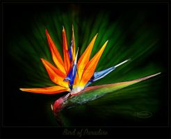 Bird of paradise by Nameda