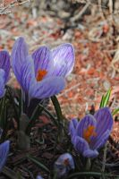 Crocus 2 by LucieG-Stock