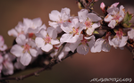 Almond Blooms by AKayPhotography