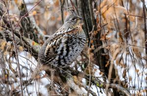 Rough Grouse by JestePhotography