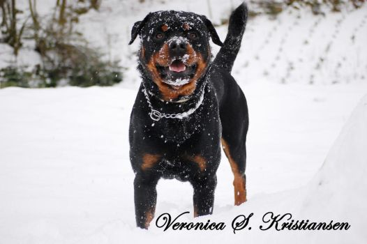 Rottweiler in snow by ostepop95