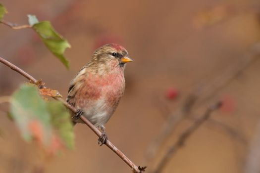 The Common Redpoll by CyprianMielczarek