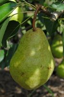 Another pear by LucieG-Stock