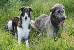 Two very different Wolfhounds by SaNNaS