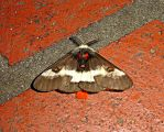 Buck Moth in NO by wolfepaw