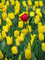 red tulip in yellow field by amirajuli