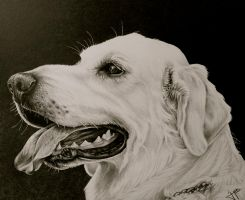Yellow Lab by jslackfineart