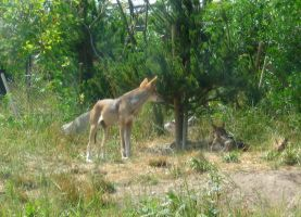 Red Wolf Family by Foxiwan