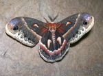 Lovely Lady, Cecropia Moth by Ffex