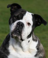 Signe the American Bulldog by SaNNaS