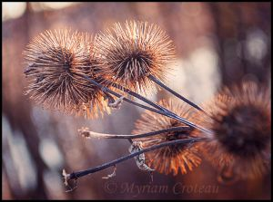 Thistle in Autumn Light by Aliniel