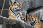 Stock - Siberian tigers by NFB-Fotografien