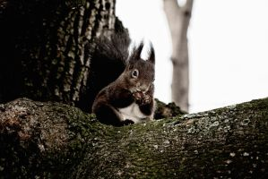 Squirrel by cadgers