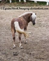 Shetland-Welsh X 13 by EquineStockImagery