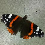 The Red Admiral by LimboTheLost