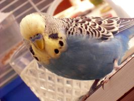 Moje andulka - My budgie by Melops1ttacus