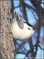 Nuthatches hop by Lou-in-Canada