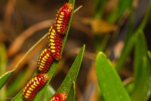 Atala Caterpillars by CyclicalCore