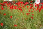 Poppies in a wild garden by ianwh