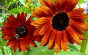 Bee and Harvest Sunflowers by PamplemousseCeil