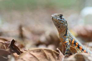 Rainbow lizard by melvynyeo