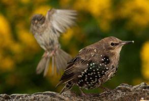 The Starling and the Sparrow by Glenn0o7