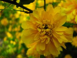 Yellow flower by guro76