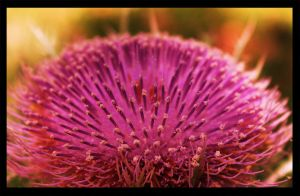 Spring Thistle by RobertRobledo