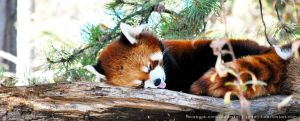 Sleeping panda by keikei11