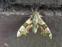 Lime Hawk Moth by XISAWORD