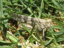 Trimerotropis Pallidipennis by A-n-t-i-g-o-n-e