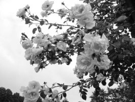 Black and white roses. by Pahokee-nita