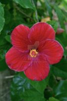 Red Hibiscus by HyperCaz