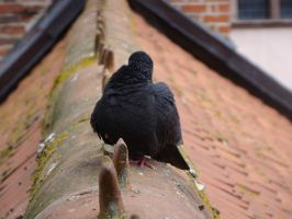 Pigeon 2 by Panopticon-Stock