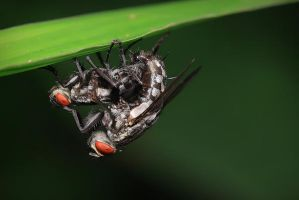 Housefly Mating by josgoh