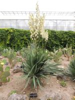 yucca filamentosa  2 by exit-humanity