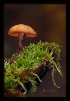 mushroom by RichardRobert