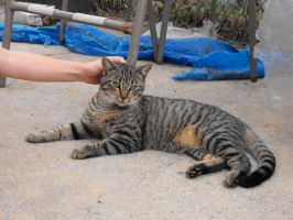 Gray Tabby Cat 7 - stock by fallbreak-stock