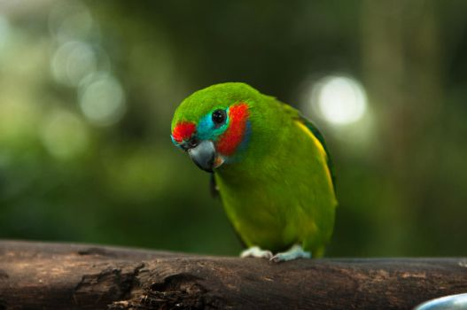 Fig Parrot by Yollanda