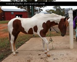 white chestnut tobiano paint by venomxbaby