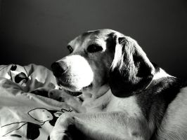 My beagle Gafi by BergOpZoom