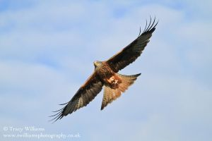 Red Kite 3 by twilliamsphotography