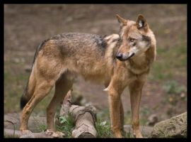 Canis Lupus by Wodenswolf