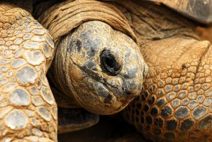 Aldabra Giant Tortoise by Shadow-and-Flame-86