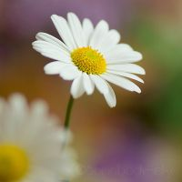 DaisY by Somebody--else