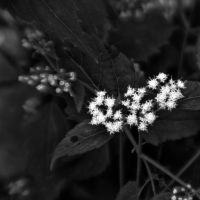 Tiny White Flowers I by pubculture