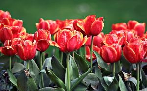 Red Tulips II by megapixelclub