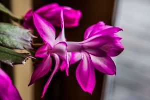 Easter or Christmas Cactus by MegnRox15